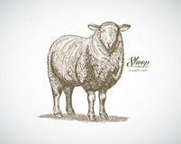 Sheep in graphic style. Stock Images