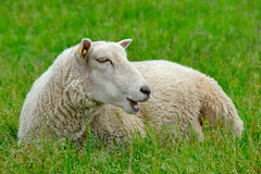 Sheep on the grass Stock Image