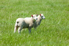 Sheep in the grass Stock Photography