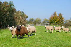 Sheep in the grass Royalty Free Stock Images