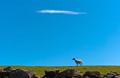 Sheep on grass against a blue sky V1. Sheep is standing on a meadow in front of a blue sky Royalty Free Stock Photos