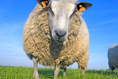 Sheep on grass with blue sky Stock Photo