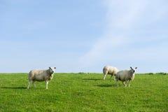 Sheep at the grass dike Stock Photos