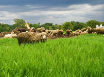 Sheep in grass field Stock Photos