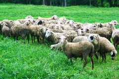 Sheep in grass field Stock Images