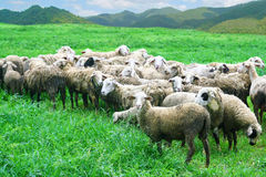 Sheep in grass field Royalty Free Stock Photos