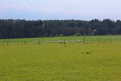 Sheep on grass with forest and blue sky. Czech landscape royalty free stock photo