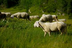 Sheep in the grass Royalty Free Stock Photos