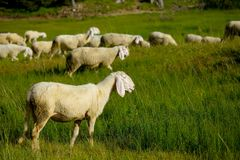 Sheep in the grass Stock Images