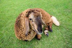 Sheep on grass. A happy sheep on grass Stock Photography