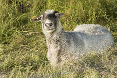 Sheep in grass. Sheep lying in grass looking curious at the photgrapher Royalty Free Stock Photos