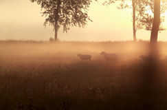 Sheep in grass at misty sunrise Stock Photography