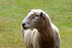 Sheep with Grass in Mouth Stock Photo