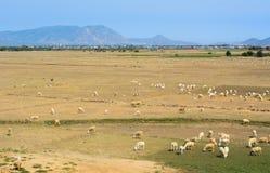 Sheep on grass in Phan Rang, Vietnam stock photography