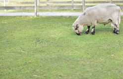 Sheep on grass in public park on a sunny day. the wool just shaved off. stock photo