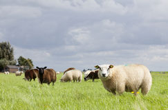 Sheep in grass under cloudy sky in holland Royalty Free Stock Photography