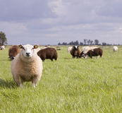 Sheep in grass under cloudy sky in holland Royalty Free Stock Photo