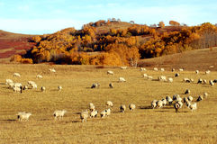Sheep and grassland. Flock of sheep on the grassland royalty free stock photos