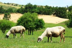 Sheep in the grassland Stock Images