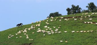 Sheep in grassland Royalty Free Stock Image