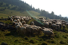 Sheep on the grassland. Grassland with sheep on grassland Royalty Free Stock Images