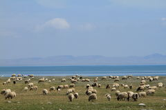 Sheep in grassland. Beside qinghai lake Stock Photos