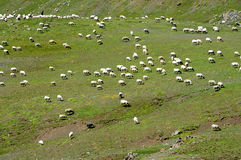 Sheep in grassland Stock Photography