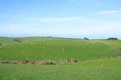 Sheep And Grassland Royalty Free Stock Image