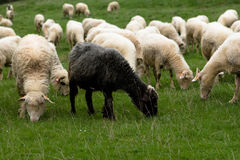 Sheep on grassland Royalty Free Stock Image