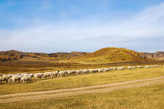 Sheep on the grassland in the fall Royalty Free Stock Photos