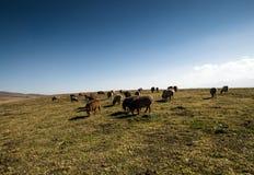 Sheep on the grassland Stock Image