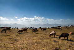 Sheep on the grassland Stock Images