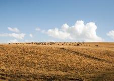 Sheep on the grassland Stock Photo