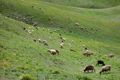 Sheep in grassland stock photo
