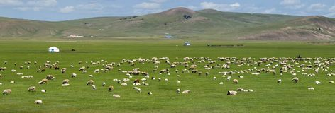 Grassland of Mongolia. Sheep in the grassland of Mongolia royalty free stock image