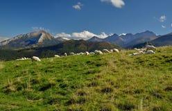 Sheep on grassland. In mountains royalty free stock photos