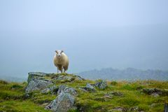 Sheep in grassland Royalty Free Stock Photography