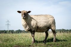 Sheep, Grassland, Pasture, Cow Goat Family Stock Photography