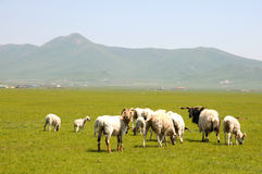 Sheep on the grassland Stock Photos