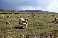 Sheep on the grassland. The Tibetan alpine meadow grassland is used by local people to graze their yaks, goats and sheep. Some of the sheep are painted using Stock Image