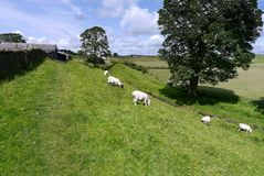 Sheep on grassy bank by trees Royalty Free Stock Photo