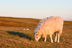 Sheep on a grassy hillside at sunset Royalty Free Stock Image