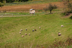 Sheep Grave in Pasture Stock Images