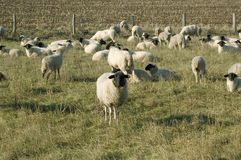 Sheep graze. Royalty Free Stock Photo