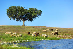 Sheep graze. Sheep graze together to the river royalty free stock photos
