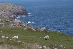 Sheep graze above sea cliffs at Cill Rialaig artists colony Royalty Free Stock Photos