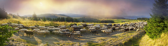 Sheep graze in the Carpathians. High in the mountains shepherds graze cattle among the panorama of wild forests and fields of the Carpathians. After the rain is Stock Image