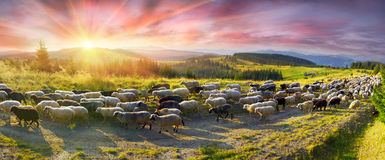 Sheep graze in the Carpathians Royalty Free Stock Image