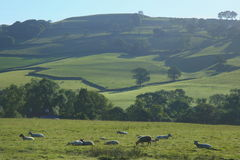Sheep graze on a farmland. In Blackdown Hill, East Devon Royalty Free Stock Photos
