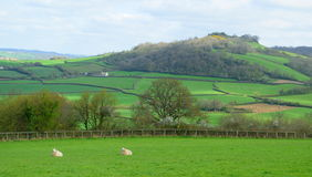 Sheep graze on a farmland Stock Photography